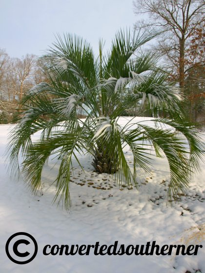 palm tree and snow... hum