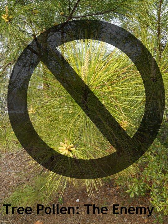 PINE TREE POLLEN