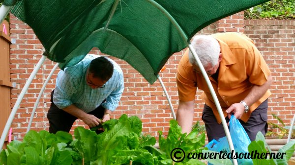 My Dad and Uncle Bri picking lettuce from my Uncle's urban garden for Easter